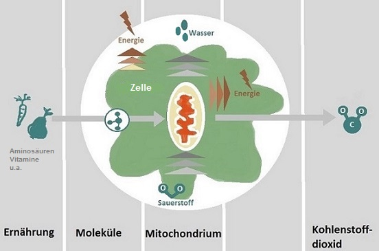 Mitochondrien, cellsymbiose Therapie, orthomolekulare Infusionstherapie